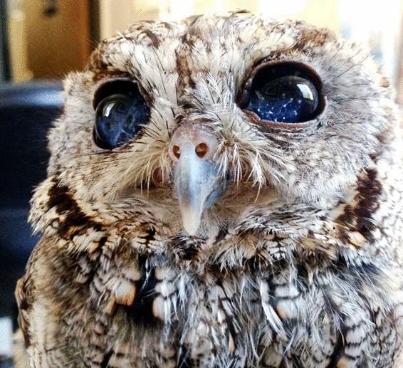 Слепая сова по имени Зевс с необычными глазами