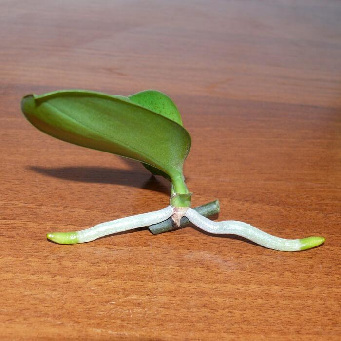 Как размножить за орхидею в домашних условиях